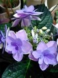 紫陽花コンペイトウらしい